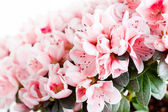 Blossoming azalea — Stock Photo