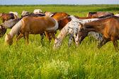 Pasące się konie — Zdjęcie stockowe