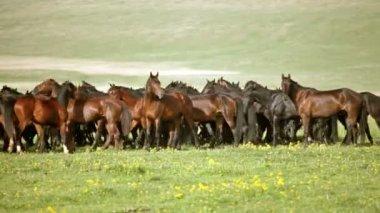 牧草地の馬の群れ — ストックビデオ