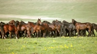 Herd of horses on pasture — Stock Video
