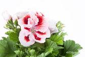 Red-white flower — Stock Photo
