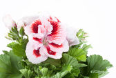 Rood-witte bloem — Stockfoto