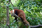 Red panda lies on a tree branch — Stock Photo