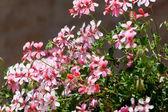 Kwitnąca geranium — Zdjęcie stockowe
