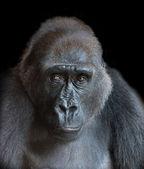Porträt eines erwachsenen gorilla — Stockfoto