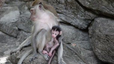 Family of monkeys sits on the rock — Stock Video