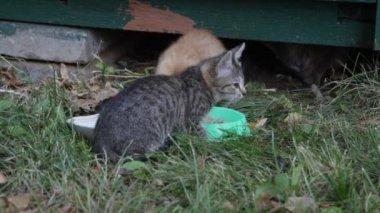 Homeless kittens eat forage — Stock Video