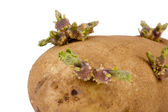 Potato Sprout — Stock Photo