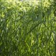 Dense thickets of grass - Stock Photo