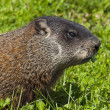 Wild animals. Marmot. - Foto de Stock  