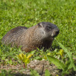 Wild animals. Marmot. - Stockfoto