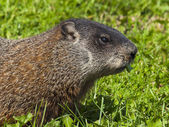 Wild animals. Marmot. — Stock fotografie