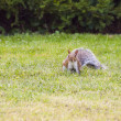 Wild animals.squirrel — Stockfoto #13219741