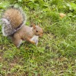 Foto de Stock  : Wild animals.Squirrel.