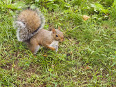 Wild animals.Squirrel. — Photo
