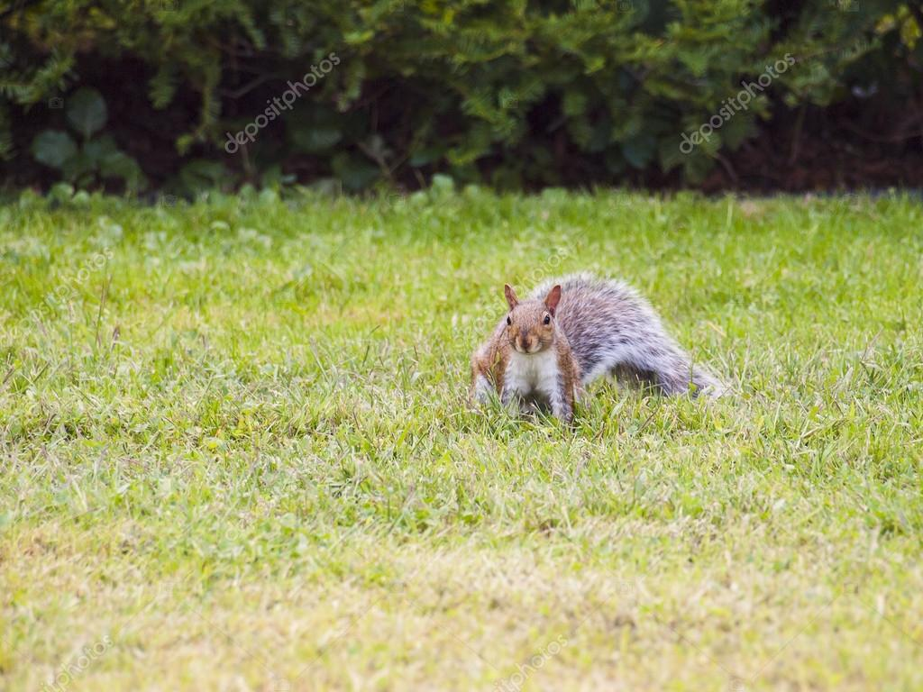 Wild animals. Squirrel sitting on the grass. — Stock Photo #13219741