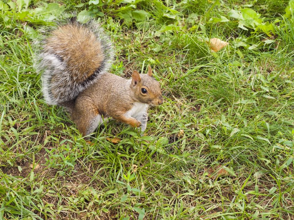 Wild animals. Squirrel sitting on the grass. — Stock Photo #13219778