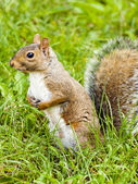 Wild animals.Squirrel. — Stok fotoğraf