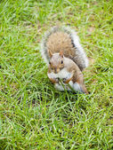 Wild animals.Squirrel. — Foto de Stock