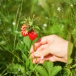Picking of strawberry — Stock Photo #12072477