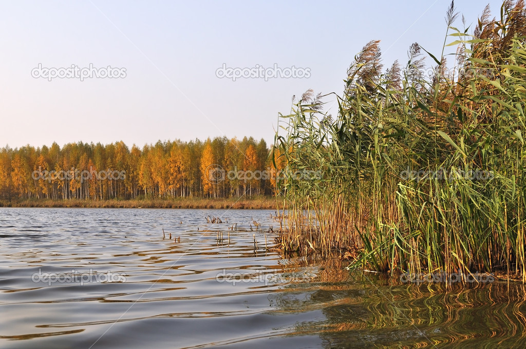 Shore of forest lake, overgrown with reeds in autumn morning — Stock Photo #12440540