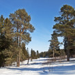 Pine trees in winter time — Foto Stock