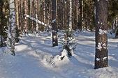 冰雪覆盖的松树树干 — 图库照片