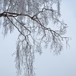 Bare birch branches, gray winter day — Stock Photo #36565995