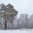 Pine tree against the snowy forest in winter time — Stock Photo