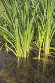 Cattail stalks in clear water — Stock Photo