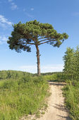 Footpath and a lone pine tree — Stock Photo