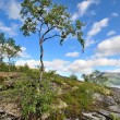 Lonely northern birch growing on the rocks — Stock Photo
