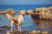Young woman, labrador dog, sea — Zdjęcie stockowe