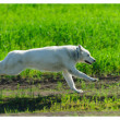 Stock Photo: AlaskMalamute runs