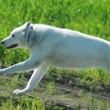 Alaskan Malamute runs — Stock Photo #41200715