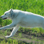 Alaskan Malamute runs — Stock Photo
