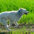 Alaskan Malamute runs — Stock Photo