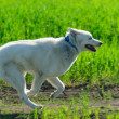 Stock Photo: Alaskan Malamute runs