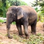Elephant — Stock Photo #20117573