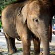 Young elephant — Stock Photo #21705825