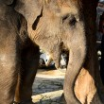 Young elephant — Stock Photo #21705829