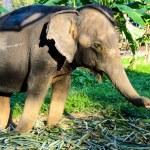 Domestic elephant — Stock Photo