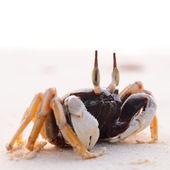 Krabben am strand — Stockfoto