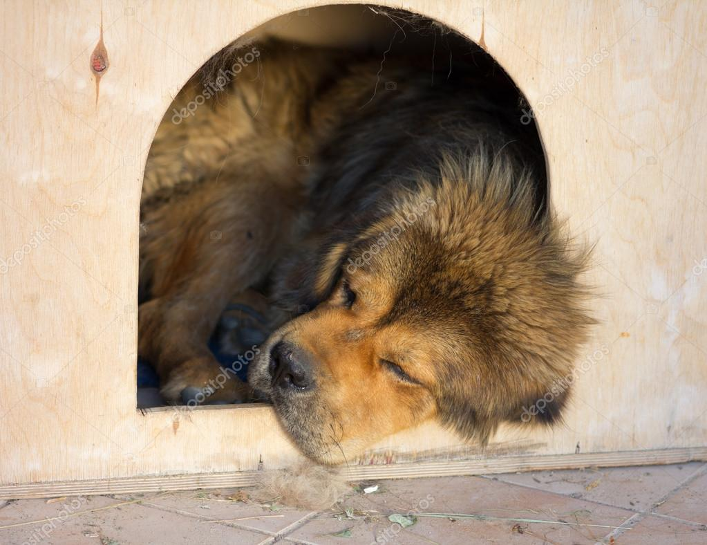 Tibetan Mastiff Dog sleeps in a kennel — Stock Photo #12071643