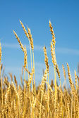 Wheat field and blue sky — Foto Stock