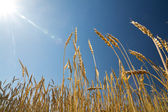 Ears of wheat against the blue sky — Stock Photo