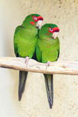 Two Mitred Parakeet — Stock Photo