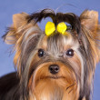 Young Yorkshire Terrier close-up — Stock Photo