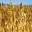 Wheat field — Stock Photo #12755067