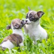 Two small chihuahua puppies — Stok fotoğraf